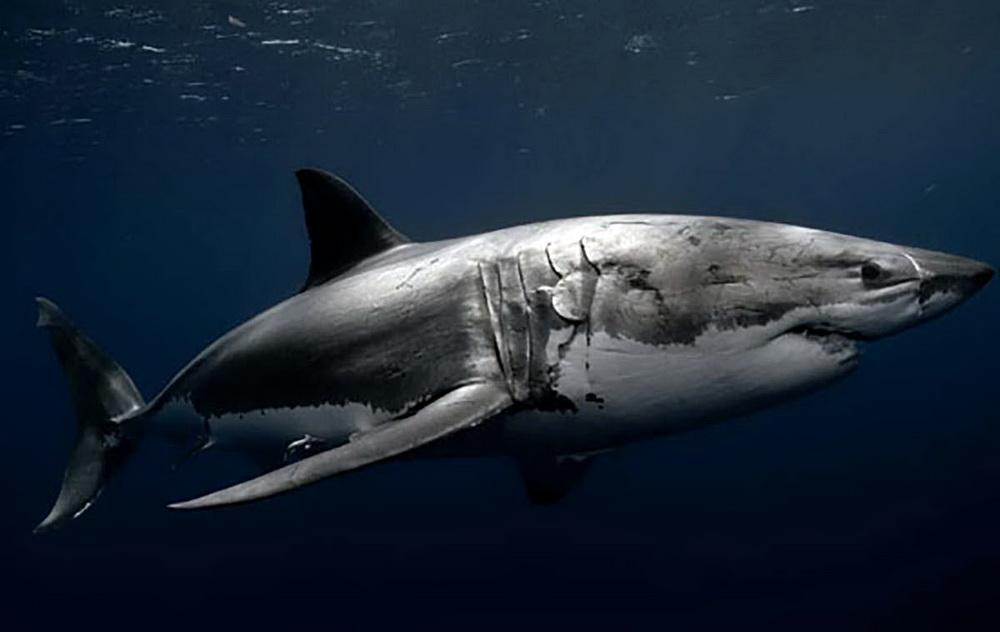 Great White Shark.\Photo courtesy of NOAA.