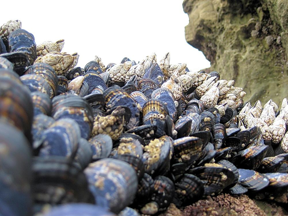 Mussels and barnacles are among key shellfish resources.\Photo courtesy of ODFW.