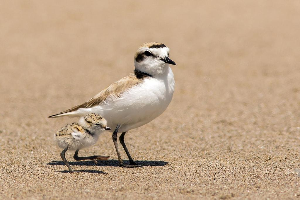 Snowy Plover.\Photo by Mick Thompson