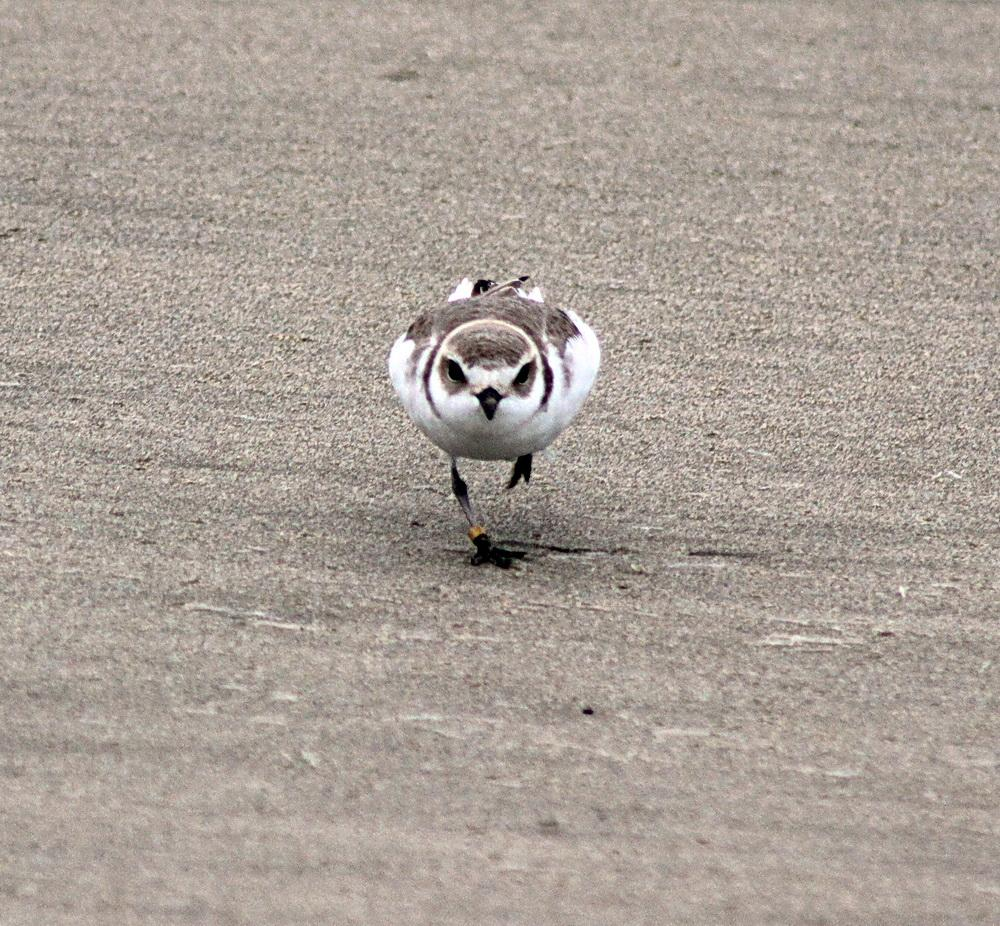Snowy plover at South Beach.\Photo by Cathy Tronquet.