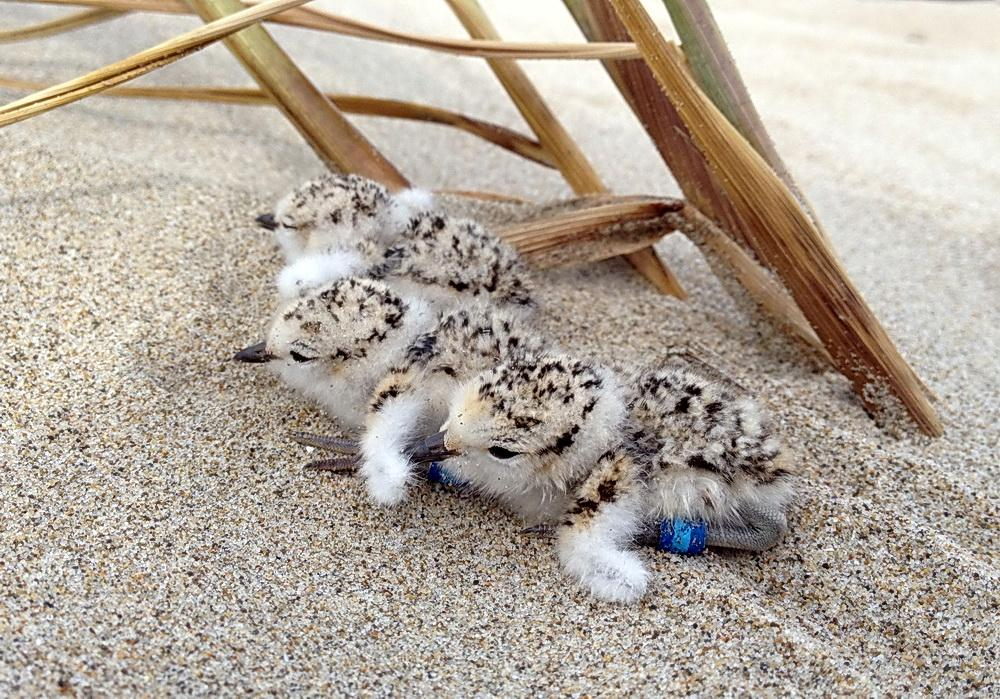 Snowy Plover chicks.\Photo by Adam Kotaich.