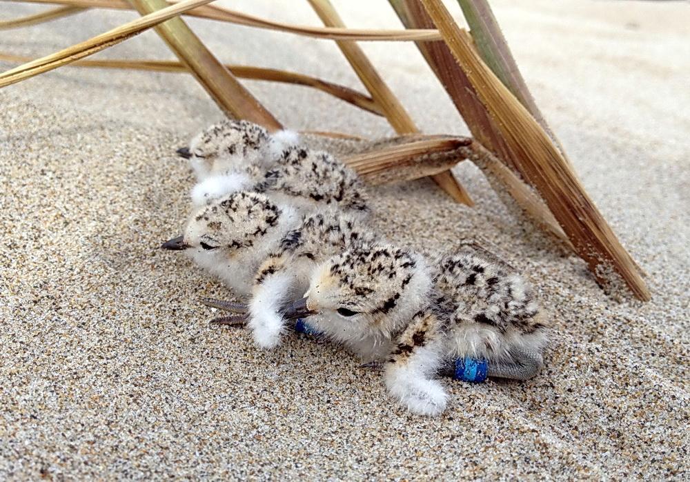 Snowy Plover chicks.\Photo by Adam Kotaich.