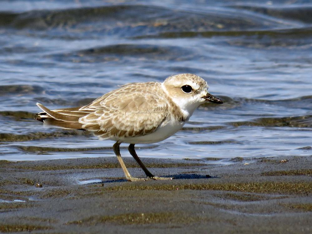Snowy plover on the Clatsop Spit.\Photo by Molly Sultany.