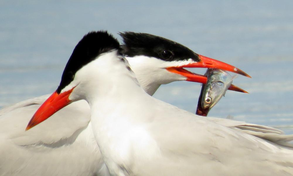 Caspian Terns, one with fish.\Photo by Molly Sultany.
