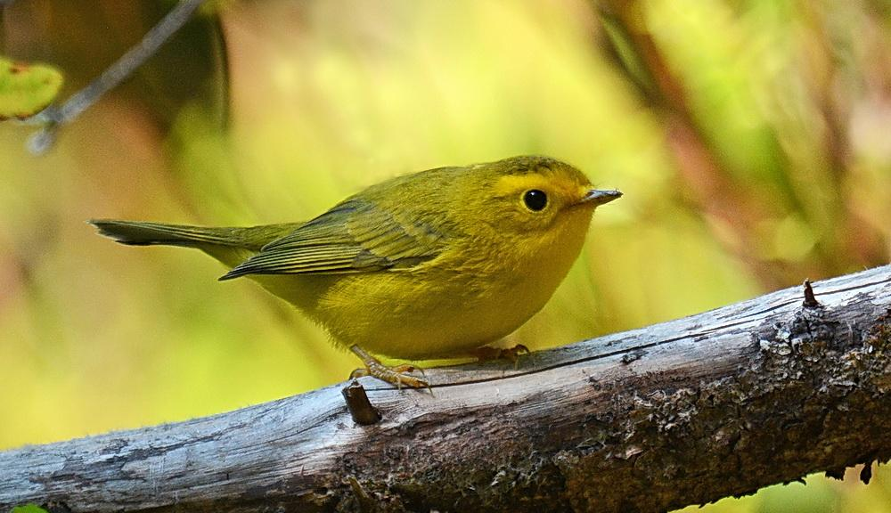 Wilson's Warbler may be passing through.\Photo by Jeremy Cohen.