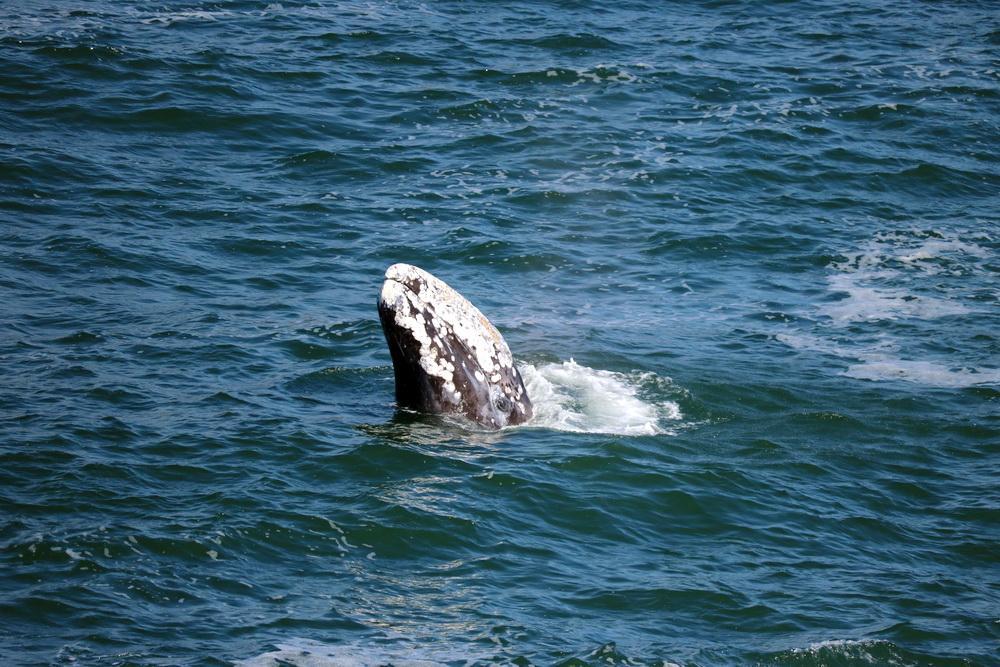 Gray whale breaching.\Photo by Era Horton.