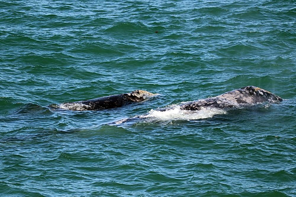 Photo of Gray Whales at Depoe Bay by Era Horton.