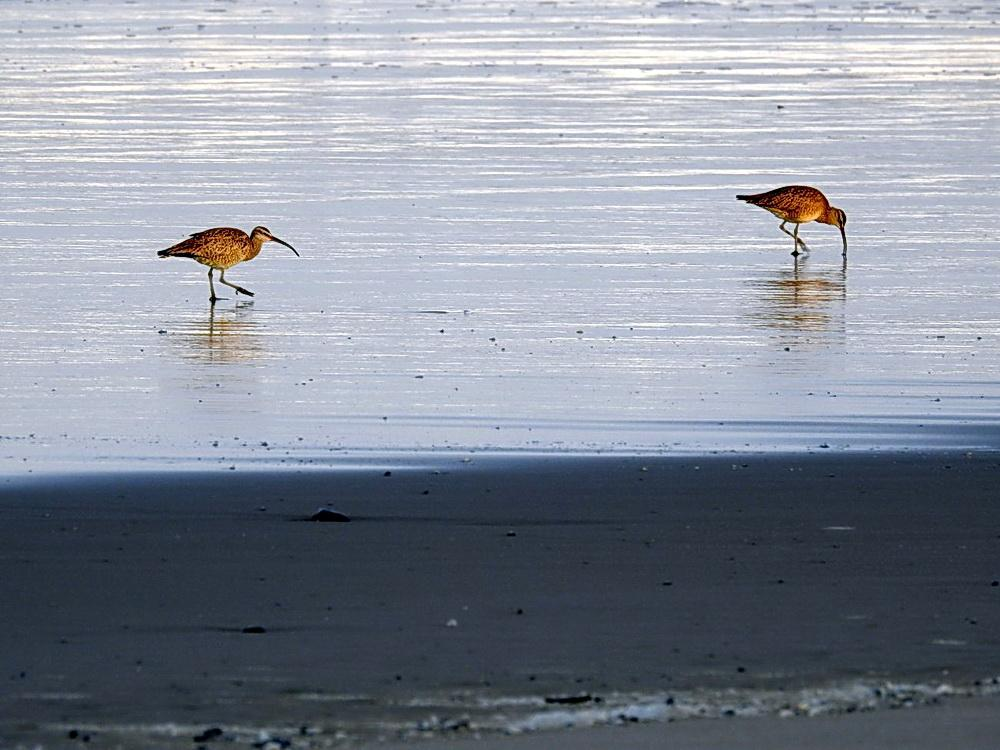 Whimbrels at South Beach\Photo by Cathy Tronquet.