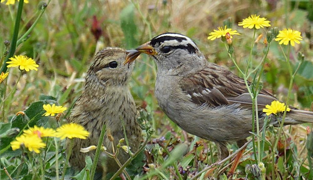 White-crowned sparrows.\Photo by Jeremy Cohen.