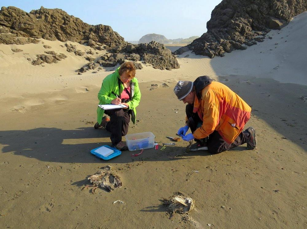 CoastWatchers and COASSTers Diane and Dave Bilderback at work on a beached bird survey at Bandon.