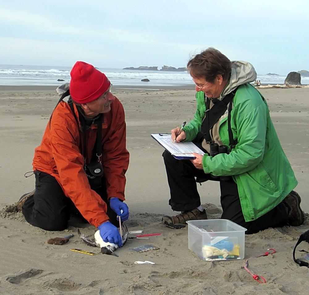 CoastWatchers Dave and Diane Bilderback, at work on a beached bird survey.\Photo courtesy of COASST.