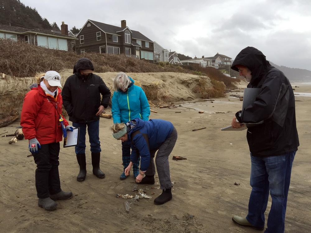 Beached bird survey volunteers in Cannon Beach.|Photo by Melissa Keyser.