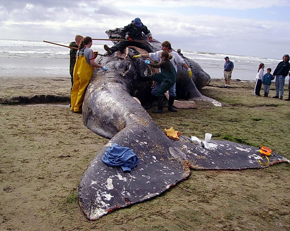 Scientists and volunteers swarm stranded whale carcass.