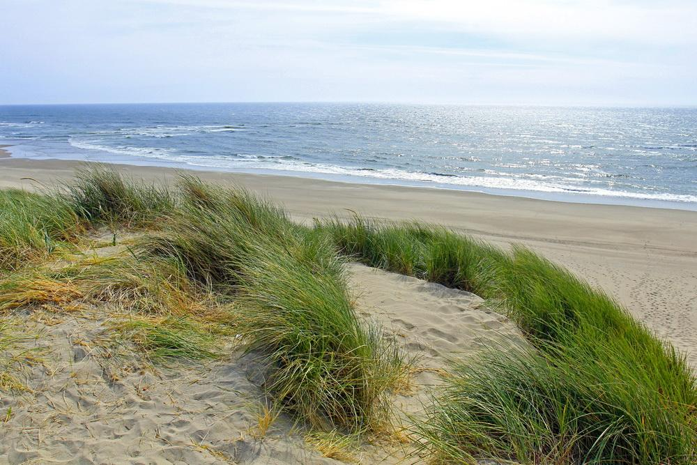 European beachgrass (at the Siltcoos River mouth) is a major invasive on the coast.\Photo by Bonnie Moreland.