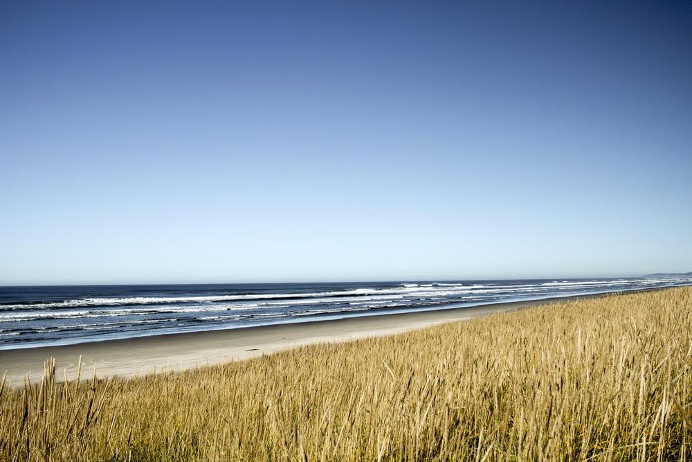 European beachgrass, a major invasive species on the Oregon coast, at Sunset Beach.\Photo by Bonnie Moreland.
