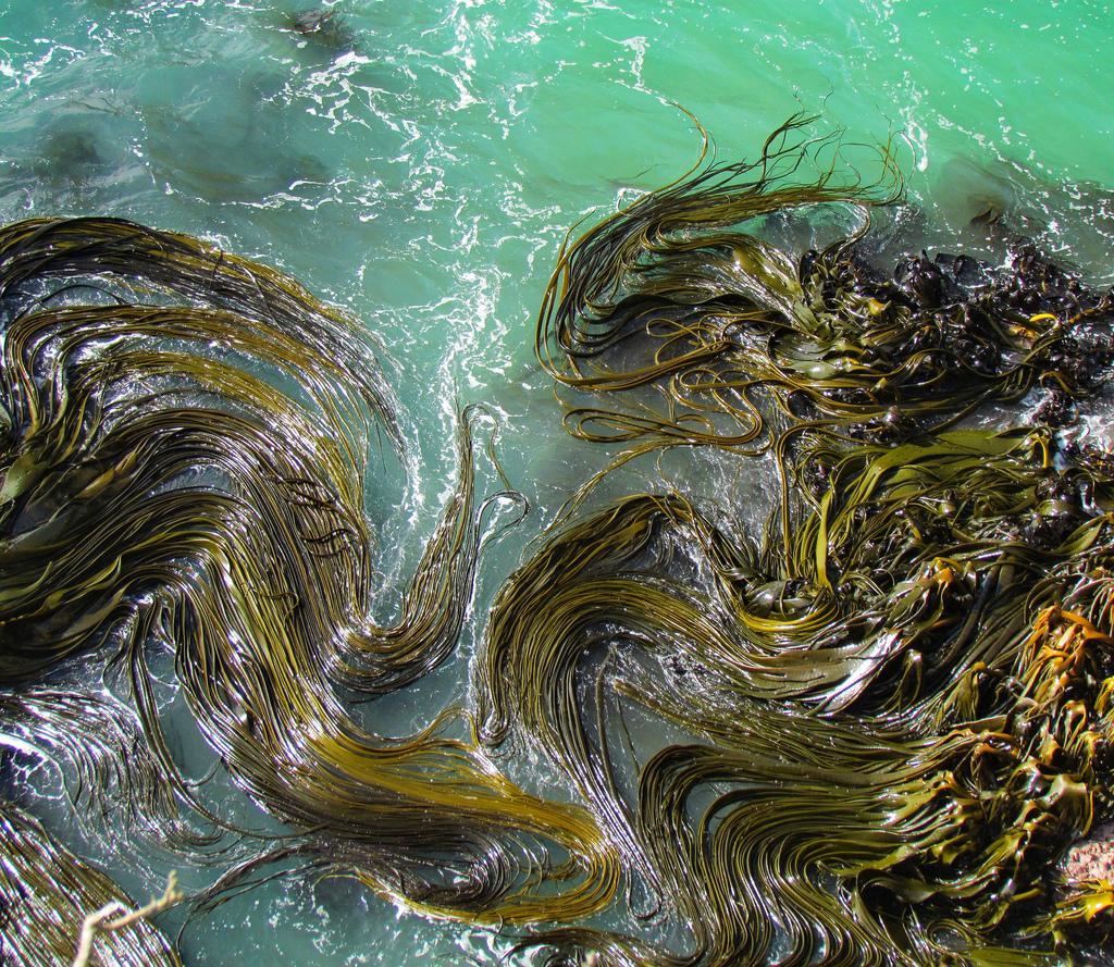 Kelp in New Zealand.