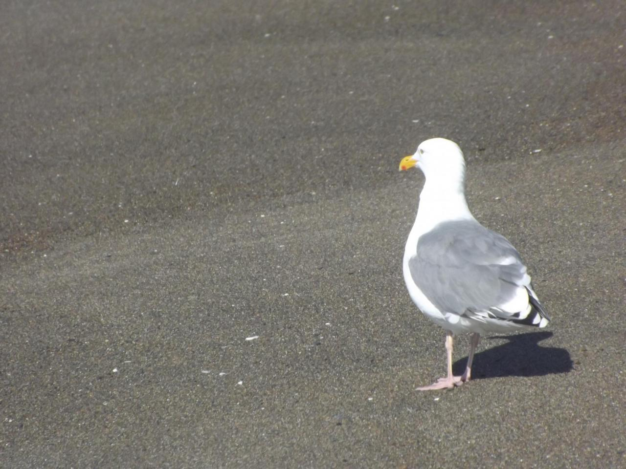 A lone seagull on the upper part of the spit.  Many more by the bay