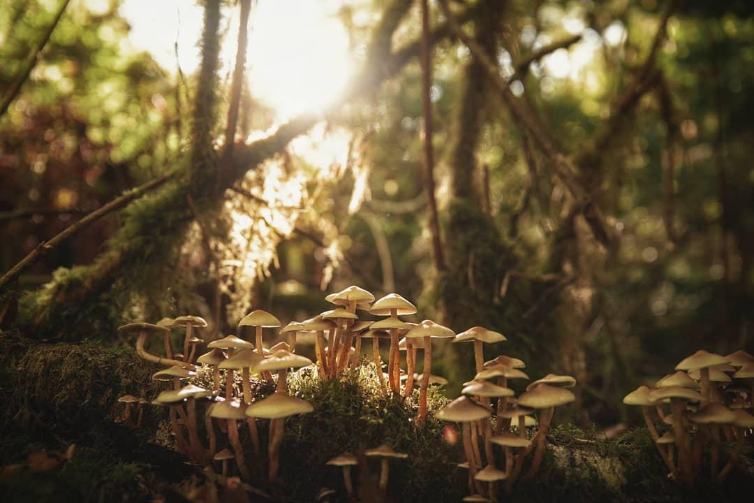 Honey mushrooms near Yachats. | Photo by Jamie Kish