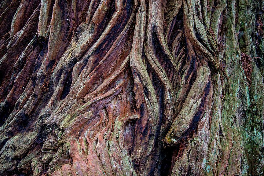 Redwood bark. Photo by Dennis White.
