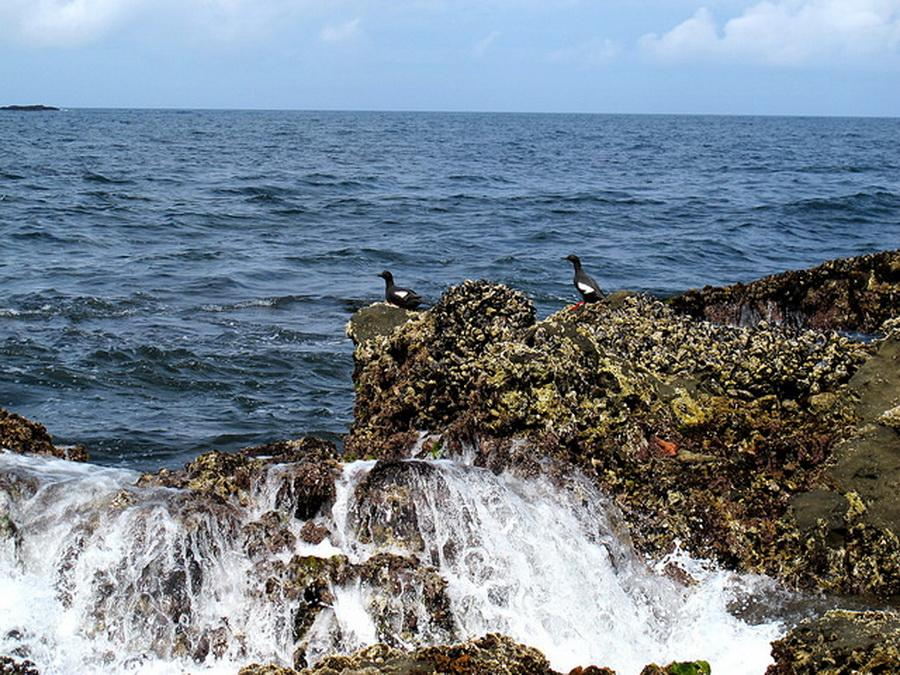 Rocky shores and Pigeon Guillemots.\Photo courtesy of OPRD.