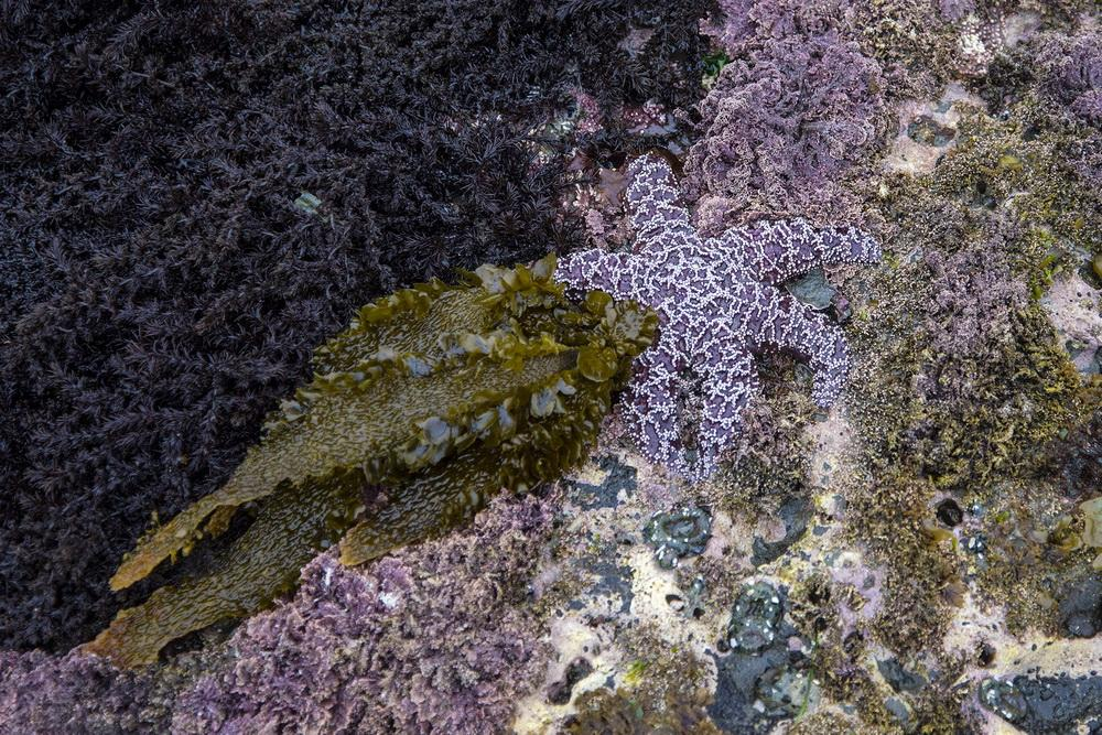 A slice of tidepool life at Otter Rock.\Photo by Dennis White.