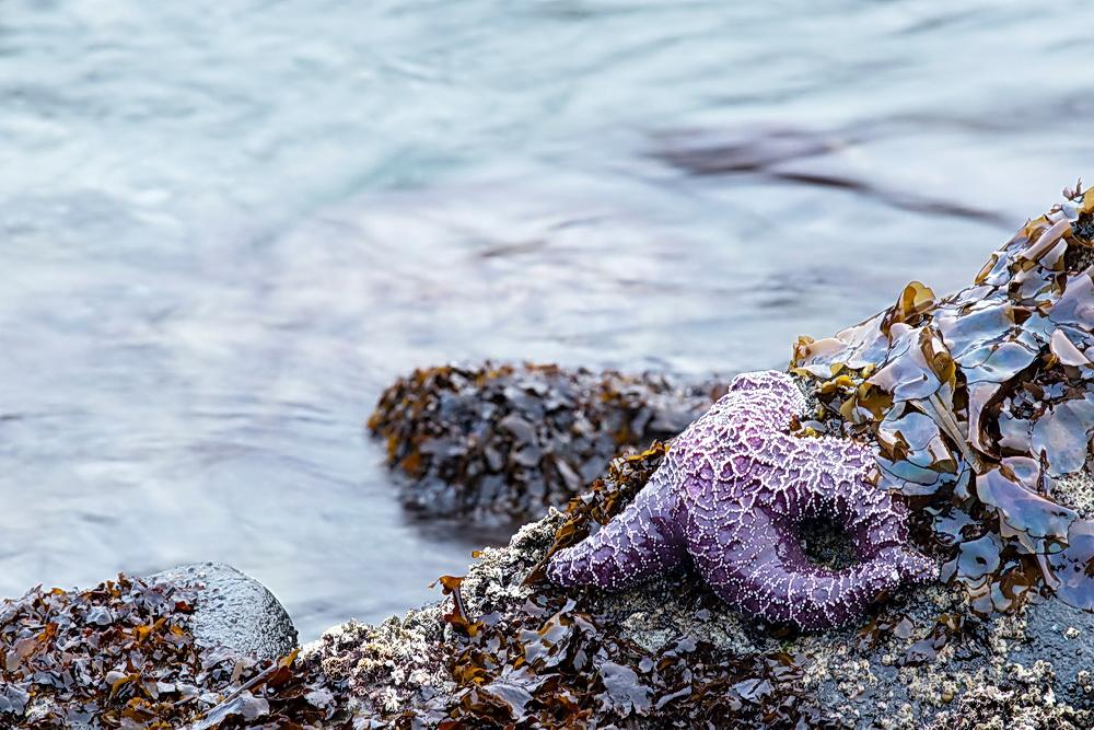 Sea stars and algae characterize rocky shore habitats.\Photo by Rena Martin.