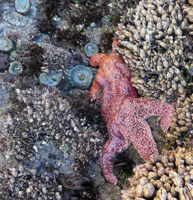 Life often observed in Oregon rocky shore habitats.\Photo by Sara Schreiber.