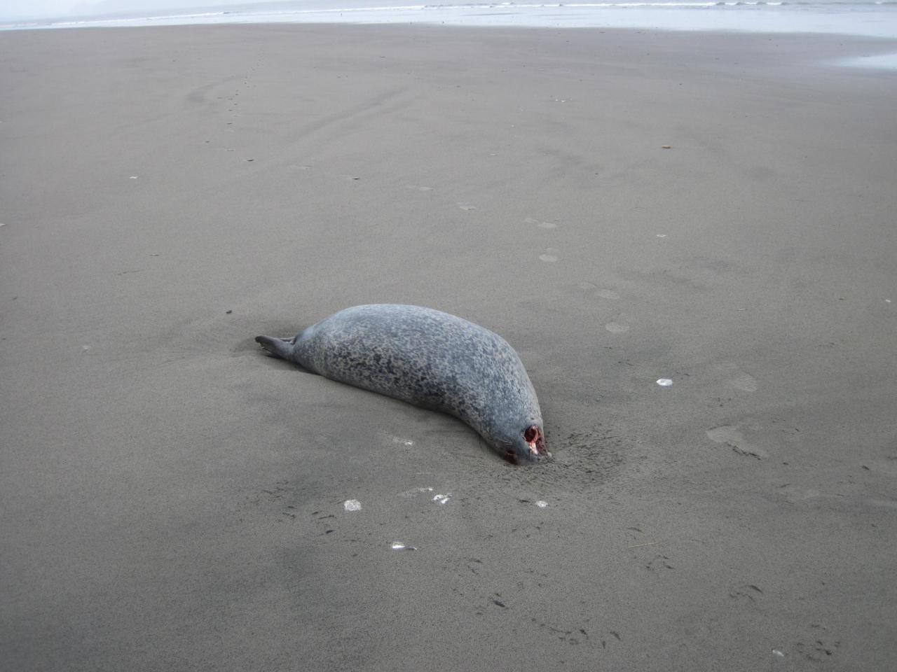 Dead harbor seal.