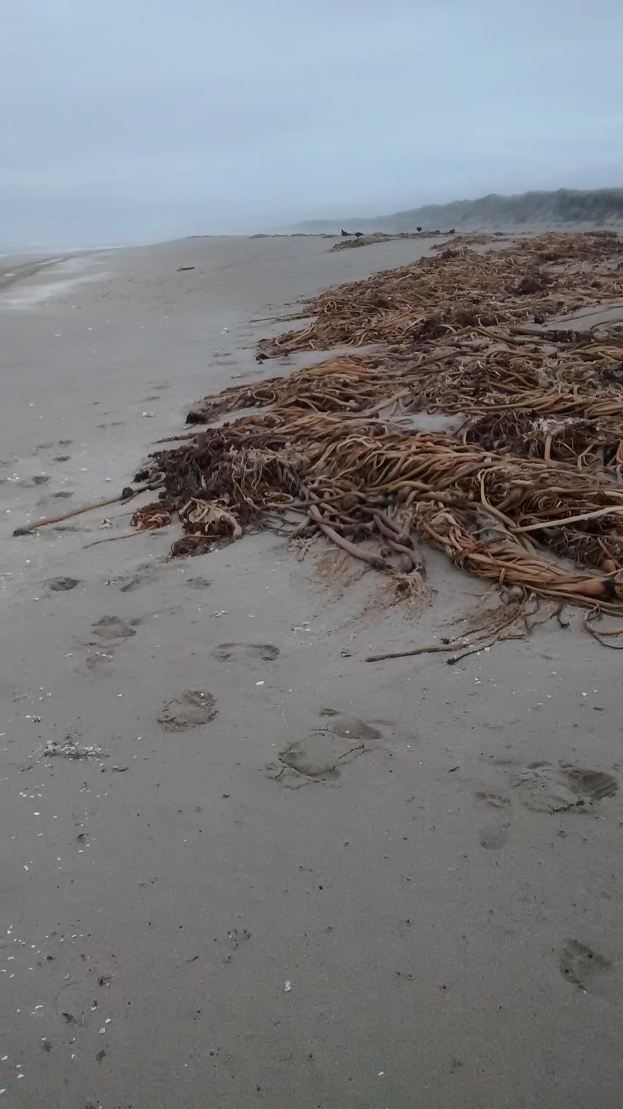 Bullwhip kelp piles up on Horsfall Beaches.