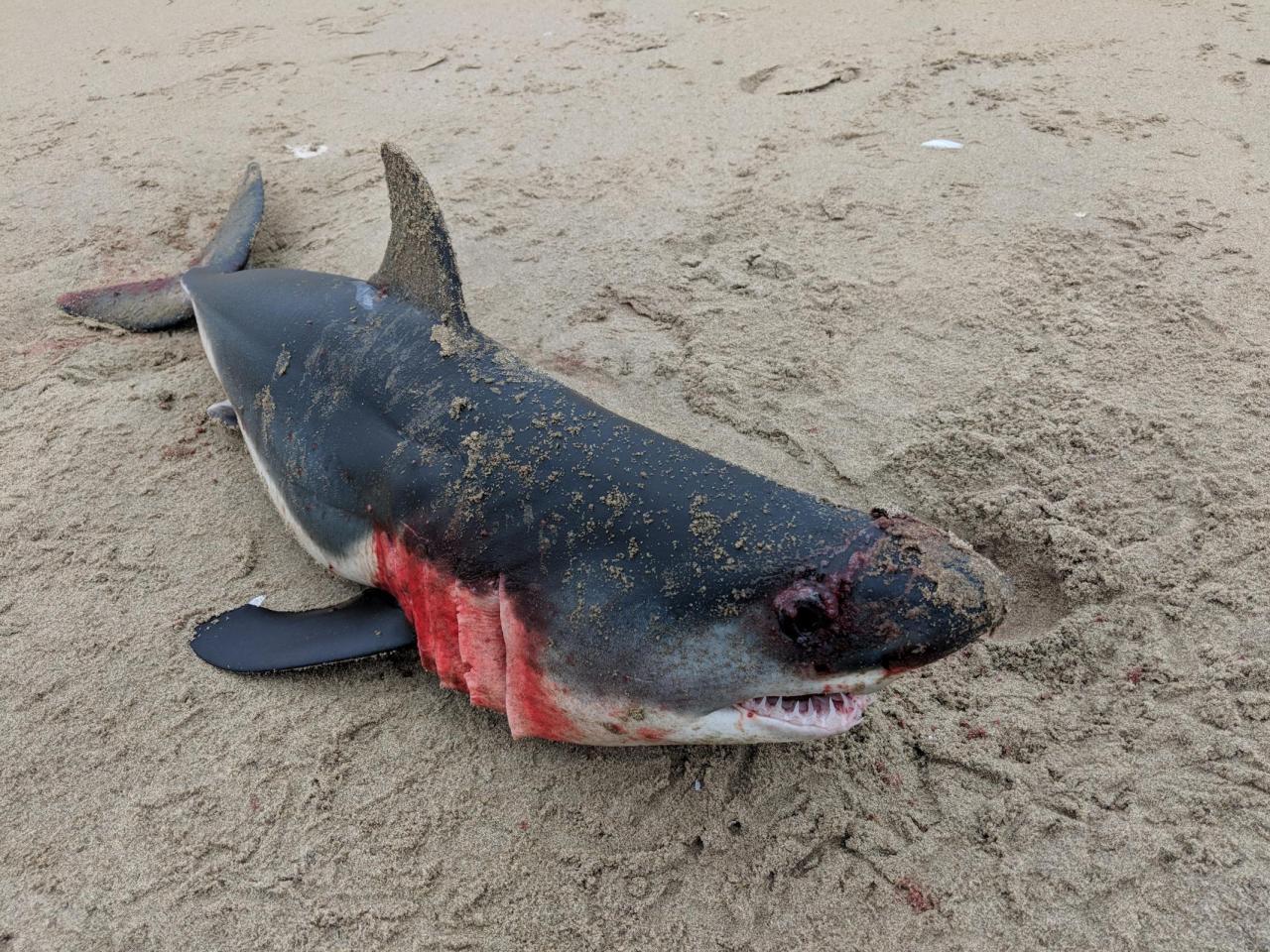Salmon Shark-Lamna ditropis