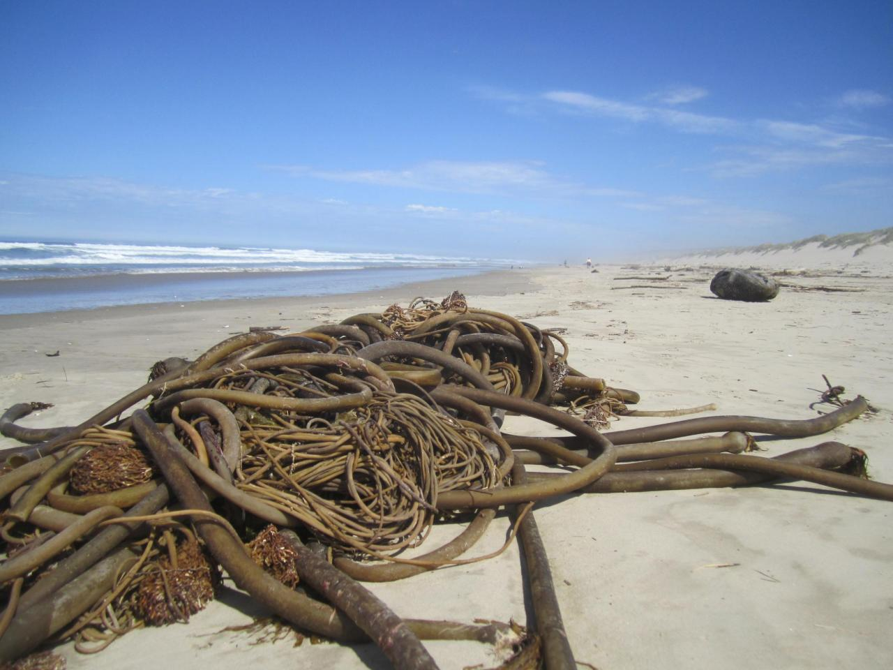 Wad of kelp
