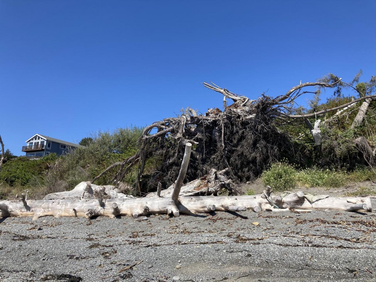 Awesome root wad and beached wood at the north end of the mile.