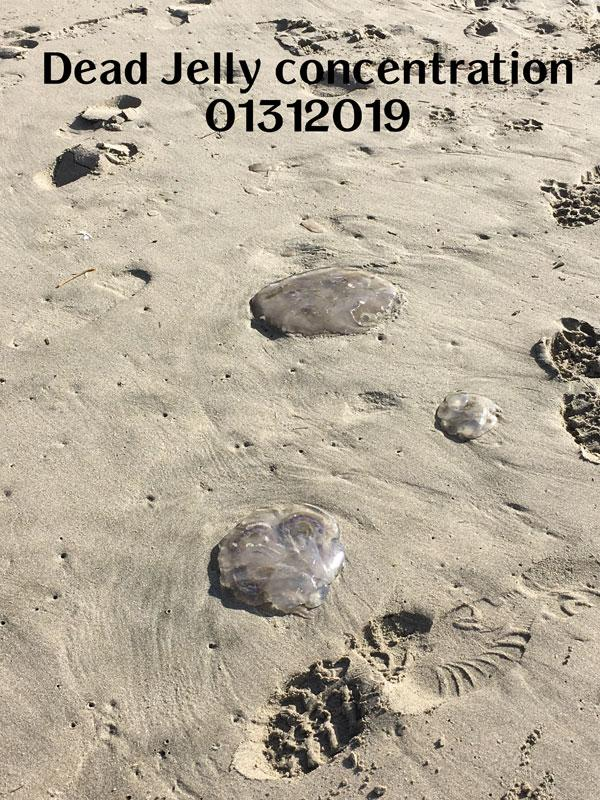 Example of concentration of whole jelly fish and pieces 02072019