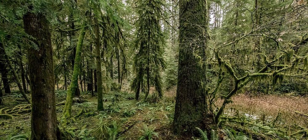 Elliott State Forest, a store of carbon in its intact state.\Photo courtesy of OLCV.