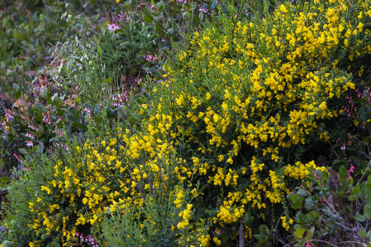 Scotch Broom on Oregon Coast.