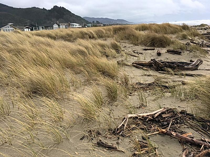 Nedonna Beach foredune.\Photo courtesy of Rockaway Citizens for Watershed Protection.