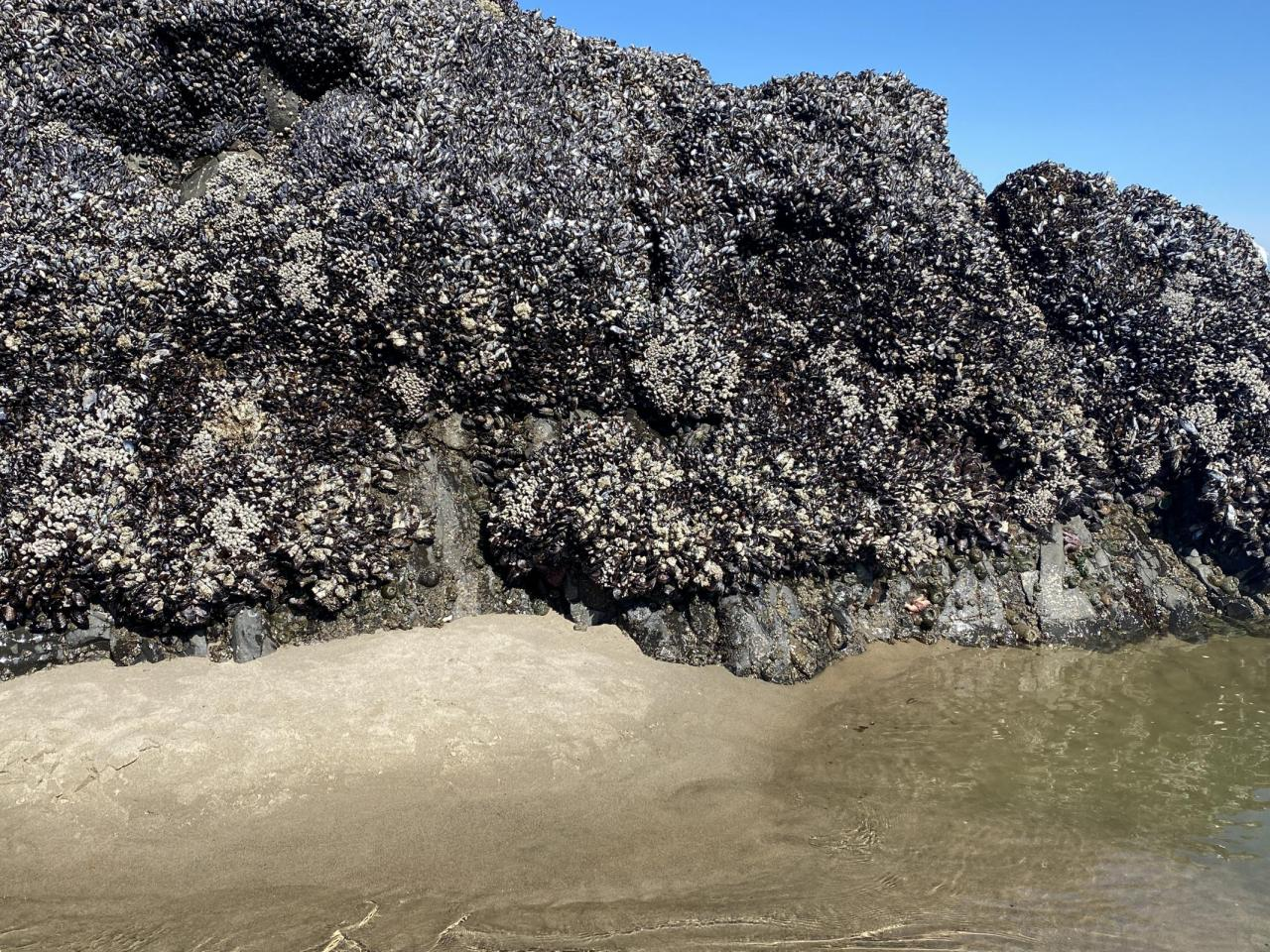 Chinook Winds rocks at -1.5 tide showing fewer than normal sea star population.