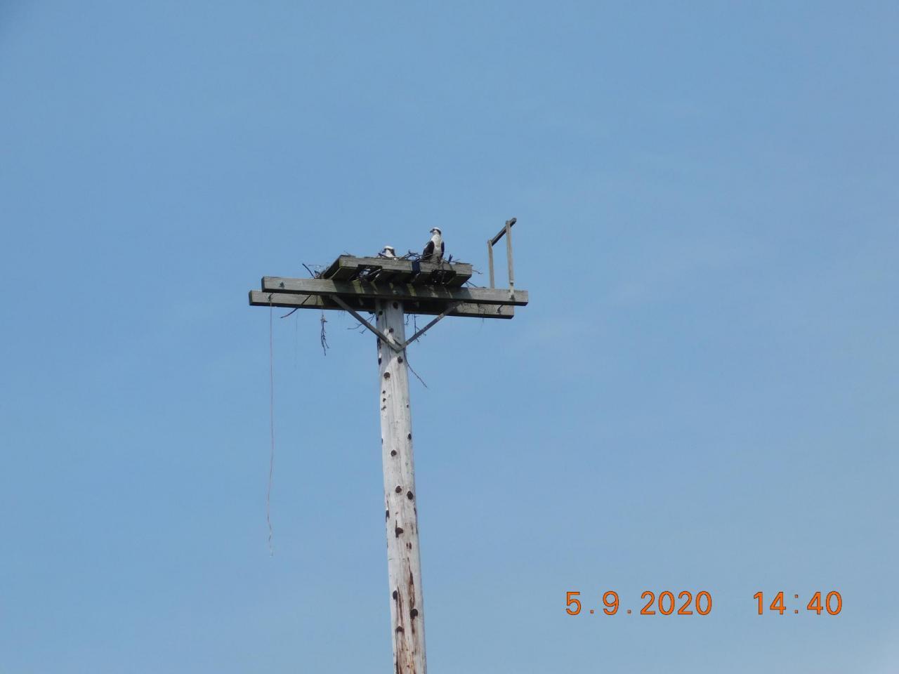 Ospreys atop nest platform, Bayshore Beach Club parking lot