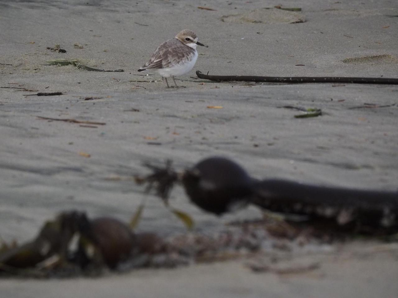 South Beach Snowy Plover