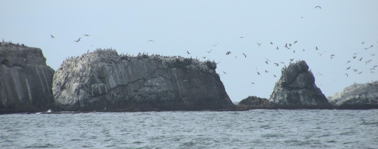 While this pictures was taken by Diane Bilderback on 9/23/08, there were many Brown Pelicans on the off-shore rocks just as was reported on 9/19/08