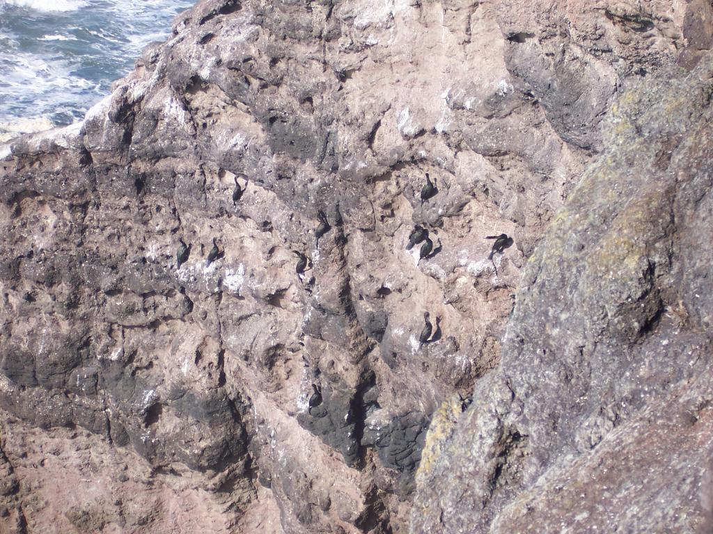 Pelagic Cormorant Colony on the cliffs of Gwynn Knoll. Some Cormorants were using the area even this time of year.