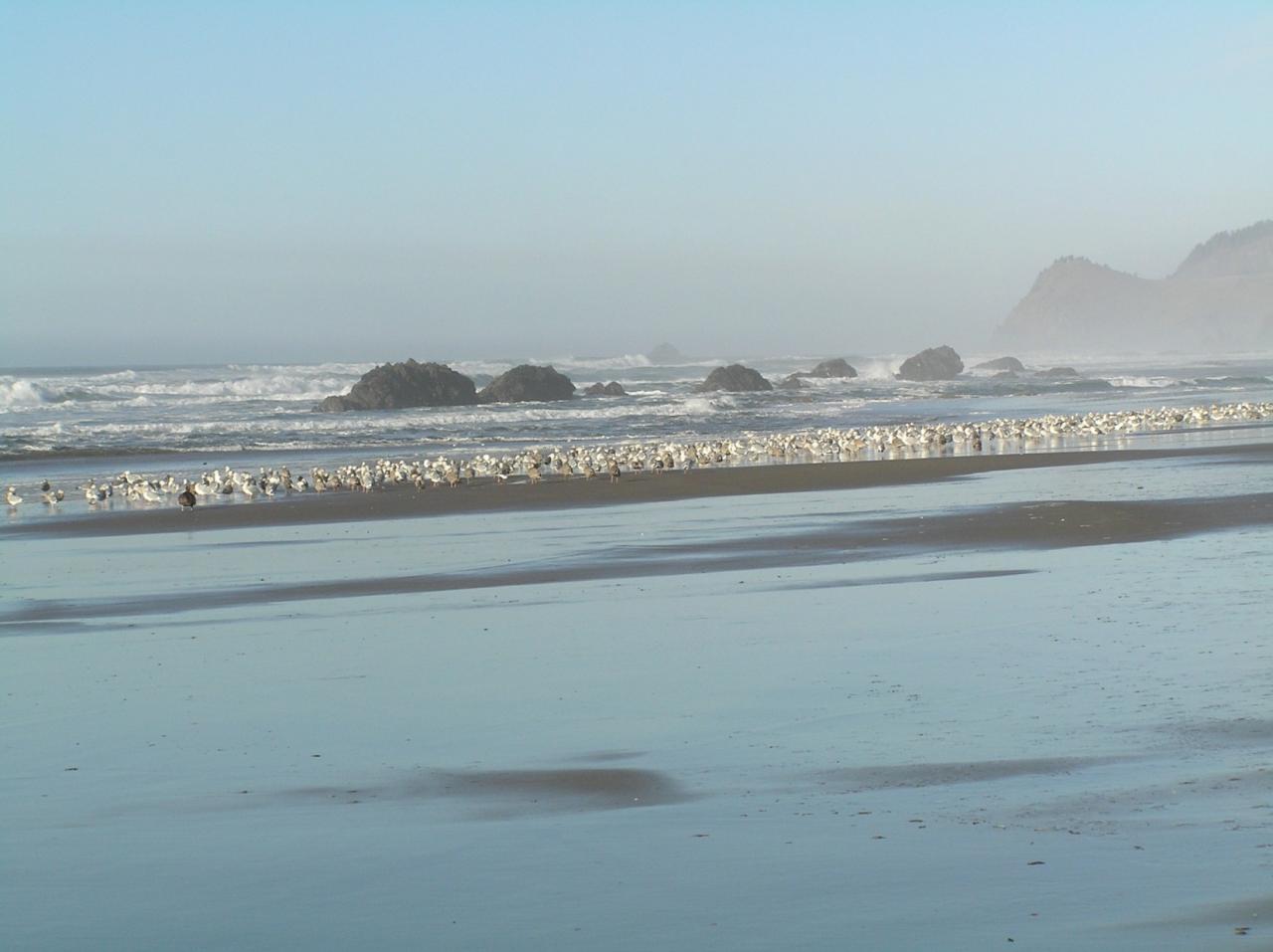 One of three flocks of gulls.