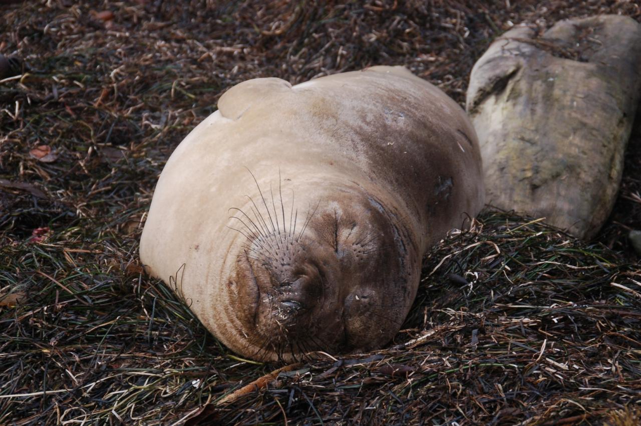 The sleeping Northern Elephant Seal pup was in the north cove on the morning of October 31.