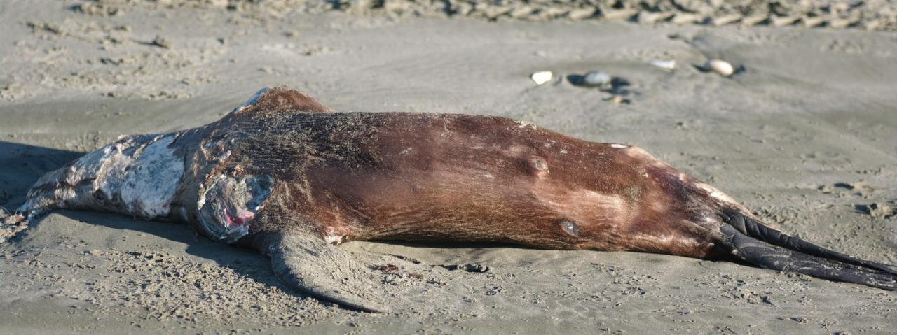 Headless probably sea lion youngster about 4 ft long, perhaps a week dead. Brown fur with hairs up to an inch long.