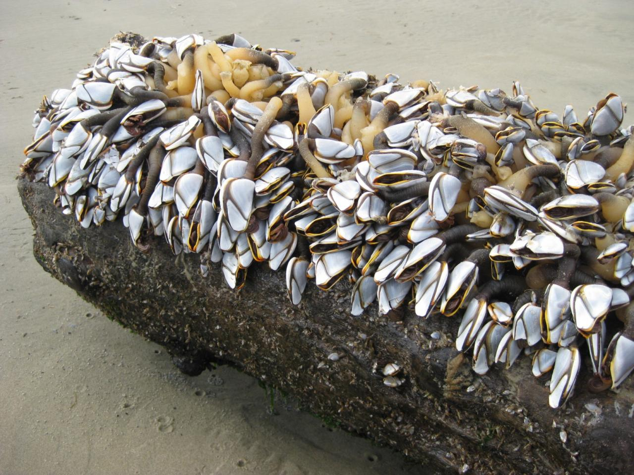 Dying Pelagic Goose Barnacles on a freshly washed-up log