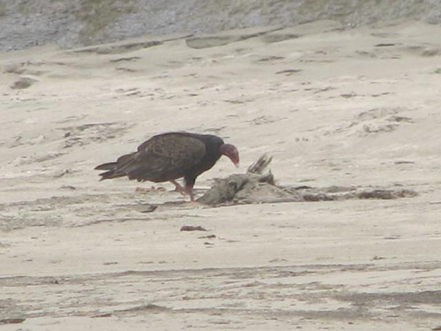 Turkey vulture feeds on a bedraggled immature large gull carcass.  Shortly after the photo was taken, a beach walker and well-behaved off-leash dog passed too close and the vulture flew away.