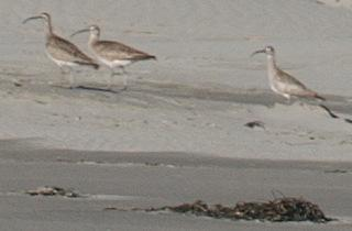 4 Whimbrels were browsing the driftline contents