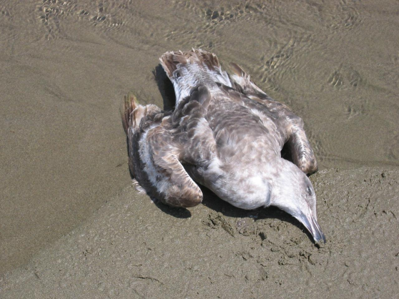 This bird is probably an immature Western Gull.