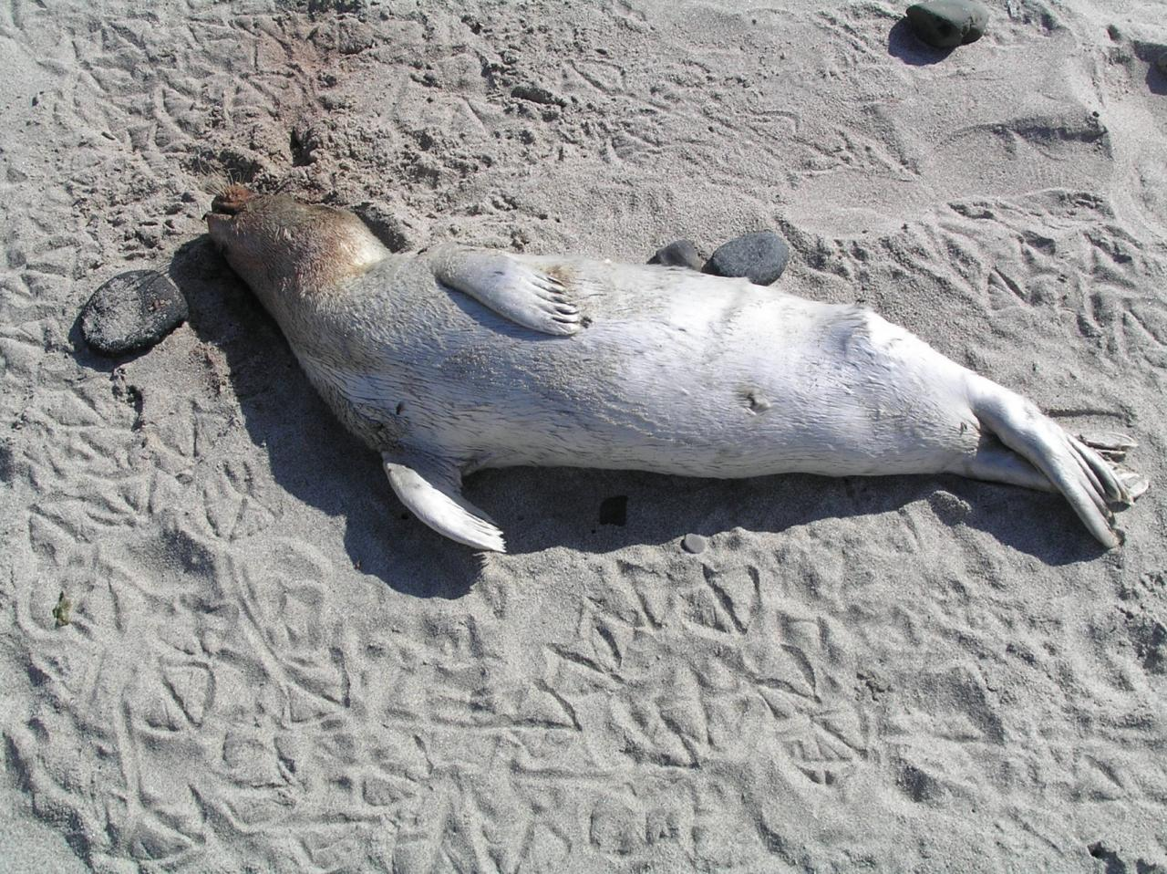 A young dead seal pup (about 3'long), beginning to deteriorate