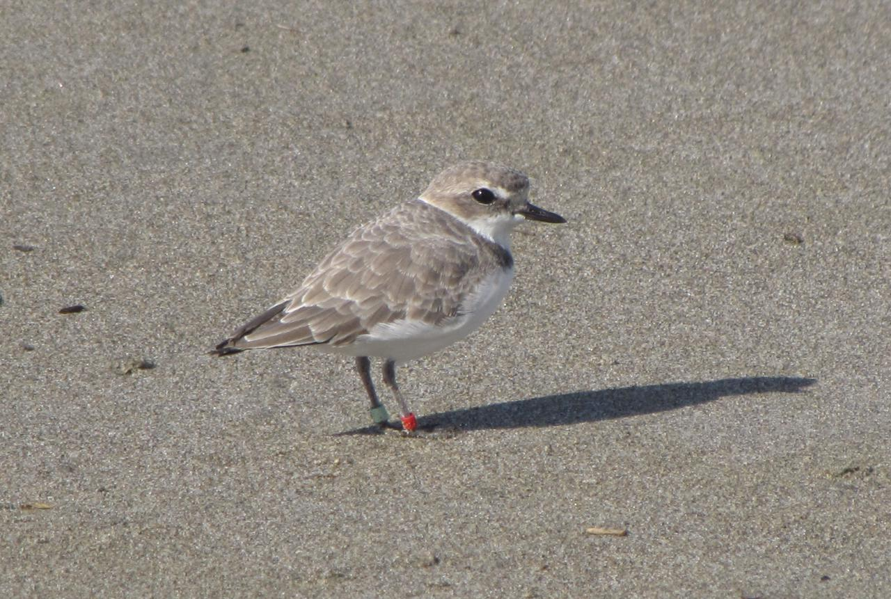 I'm enjoying using my zoom lens on the Snowy Plover today because they were just resting, not running.
